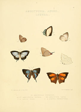 Illustrations of diurnal Lepidoptera 4.jpg