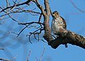 Immature Cooper's hawk (2307592244).jpg