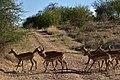 Impala, Ruaha National Park (1) (28712189716).jpg