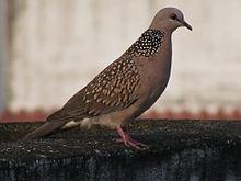 Columbidae Wikipedia