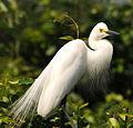India Egret.jpg