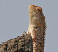 Indian Garden Lizard (Calotes versicolor) in Kinnarsani WS, AP W2 IMG 5940.jpg