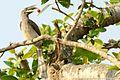 Indian Grey Hornbill (କୋଚିଲାଖାଇ) 002.jpg