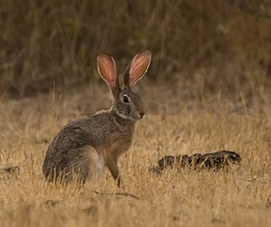Indian hare - Indian Hare Rajkot