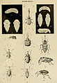 Indian insect life (Plate XXVII) (6280037722).jpg
