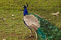 Indian peafowl - Pavo cristatus.jpg