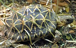 Indian star tortoise - Houston Zoo - cropped.jpg