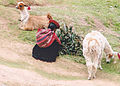 Indian woman in Peru crouching near her alpacas.jpg