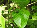 Invertebrate Tettigoniidae (Katydid) 04.jpg