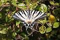 Iphiclides podalirius-Flambé-20150618.jpg