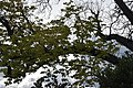 Ippocastano - il ramo verde.jpg