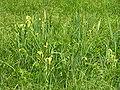 Iris pseudacorus 1 beentree.jpg