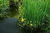 Iris pseudacorus b2.JPG