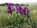 Iris pumila sl24.jpg