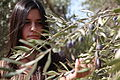 Israel Olive Picking (8157034634).jpg