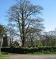 Ivy infested tree at St Mary's Church, Llanfairynghornwy - geograph.org.uk - 1376317.jpg