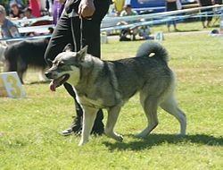 Jämthund aka Swedish Elkhound 1.JPG