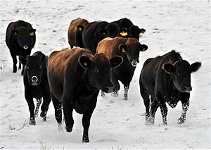 Jeju Black - Jeju Black Cattle on a snowy field