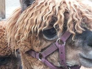 Jesmond Dene - Alpaca examining the visitors to Pets' Corner