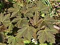 Johnsbach - Nationalpark Gesäuse - Blätter eines jungen Bergahorns.jpg