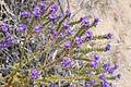 Joshua Tree National Park flowers - Phacelia crenulata - 05.JPG