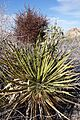 Joshua Tree National Park flowers - Phoradendron californicum - 4.JPG