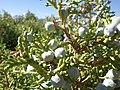 Juniperus osteosperma (7352404934).jpg