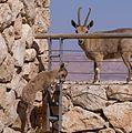 Juvenile Nubian ibex jumping off wall (40375).jpg