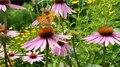 File:Kaisermantel auf Purpur-Sonnenhut im Biogarten Prieros3-47.webm