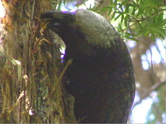 Orokonui Ecosanctuary - Kaka were the first species to be introduced