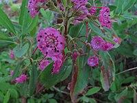Kalmia angustifolia 4500