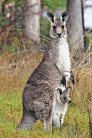 Samice klokana obrovského s mládětem v břišním vaku