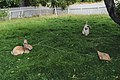 Kanin-floka.jpg