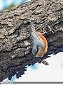 Kashmir Nuthatch (Sitta cashmirensis) (48332339792).jpg