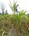 Kelapa sawit baru ditanam (1).JPG