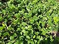 Kennedia macrophylla.jpg