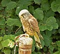Kestrel. Falco tinnunculus (48451684656).jpg