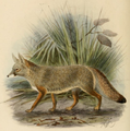 Keulemans Bengal fox.png