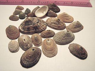 <i>Diodora</i> genus of molluscs