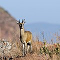 Klipspringer at Marakele (36634045385).jpg