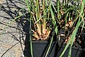 Kluse - Cymbopogon citratus - Zitronengras 03 ies.jpg