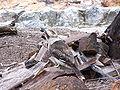 Kokkaburra 2 gnangarra.jpg