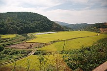 Yellow paddy fields and green hills during autumn