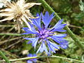 Kornblumen-Blüte.JPG