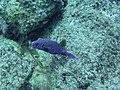 Kugelfisch Panama (27083891656).jpg