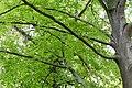 KulTour Parkanlage Sanssouci Baumschäden-3318.jpg