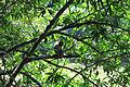 Kuruva Island - Monkey in Kuruva Island.jpg