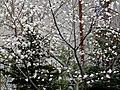 Kwitnąca magnolia - panoramio.jpg