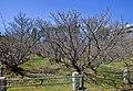 Kyoto, 桜, sakura, Ninnaji - Omnuru Saku - late blossom cherries - panoramio.jpg