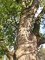 Kysice KL CZ Javory v Kysicich Acer saccharinum 066.jpg